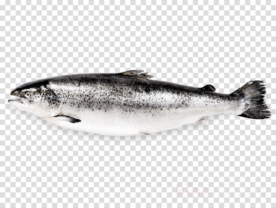 fish fish bass salmon coho clipart.