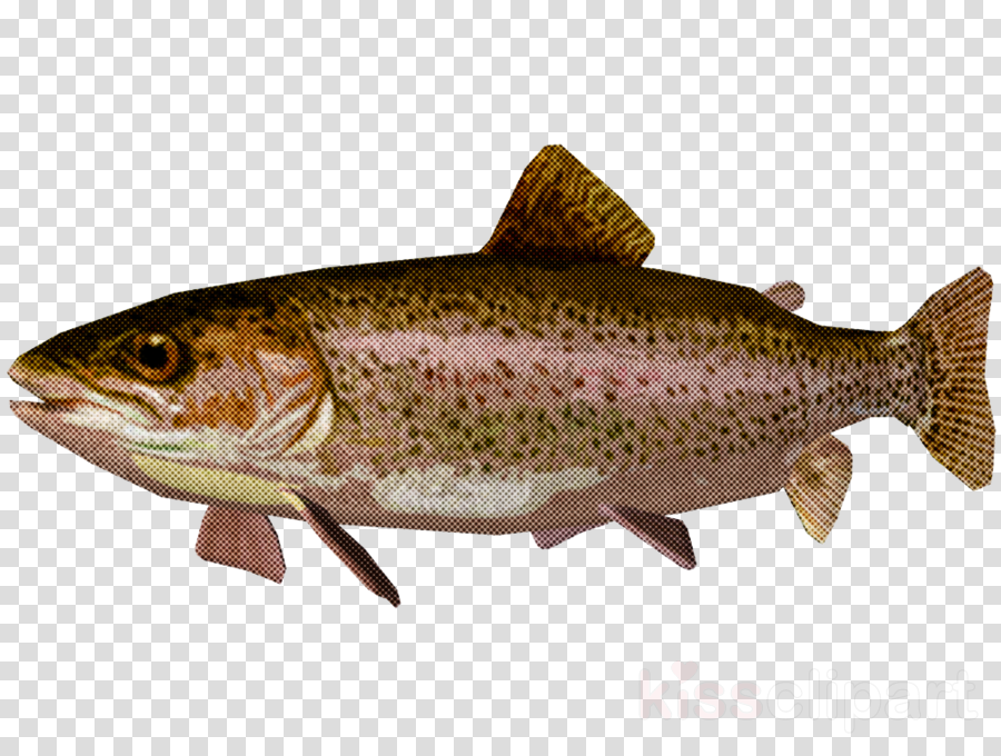 fish fish trout coho brown trout clipart.