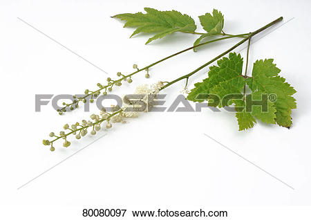 Picture of Black Cohosh, Squaw Root, Black Snakeroot (Cimifuga.