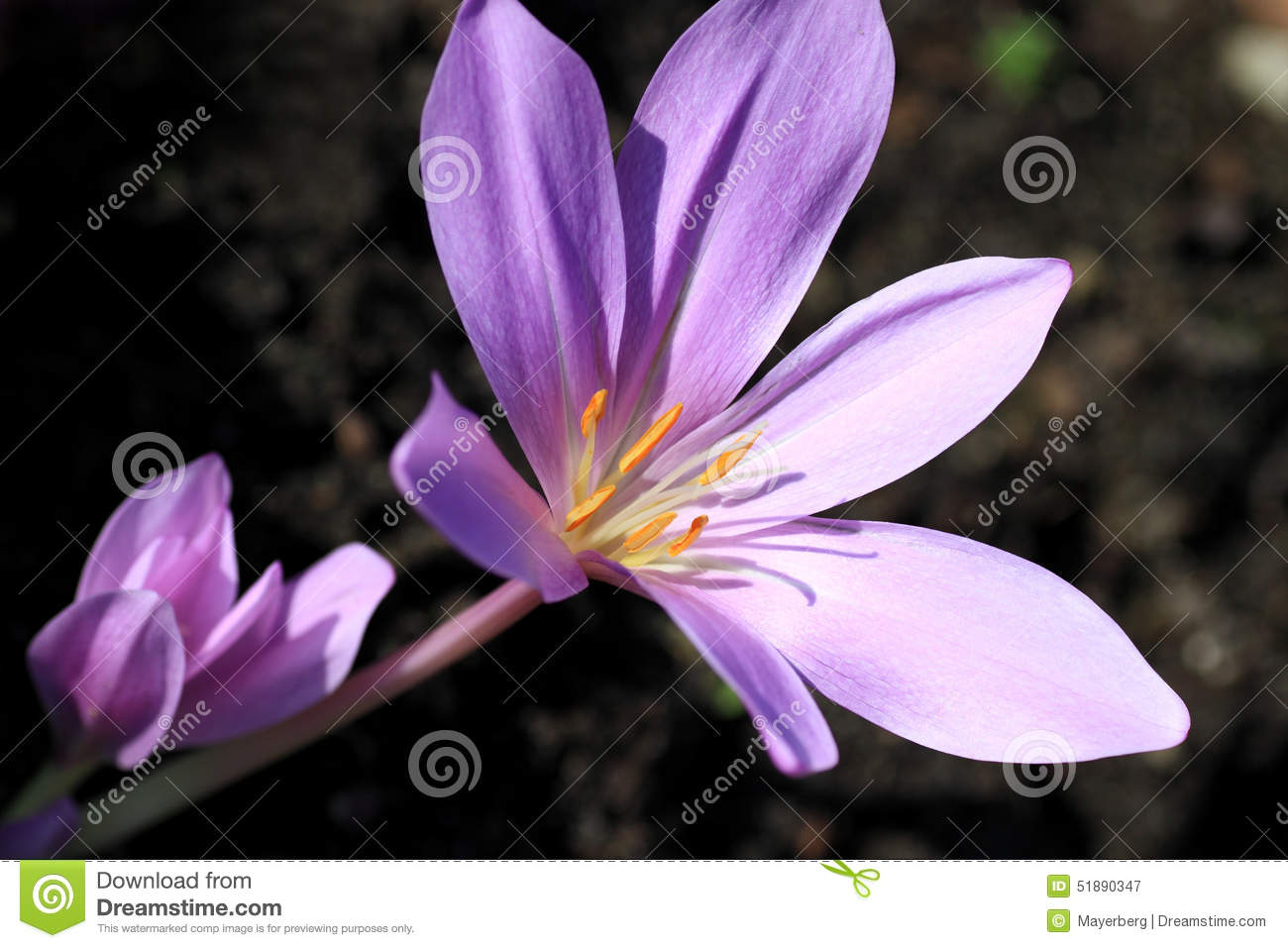 Colchicum Autumnale Royalty Free Stock Images.