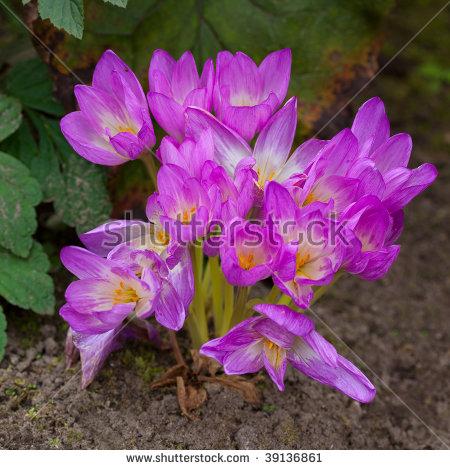 Colchicum Autumnale Stock Photos, Royalty.