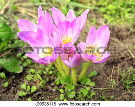 Stock Image of pink flowers of Colchicum autumnale k30635115.