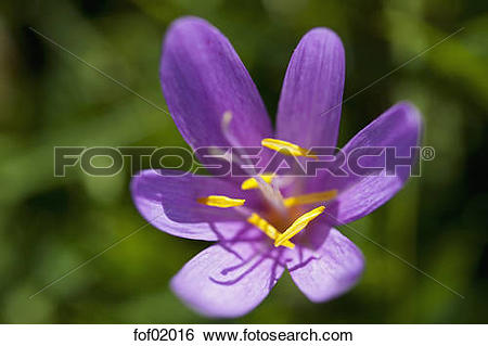 Stock Images of Germany, Bavaria, Meadow saffron (Colchicum.