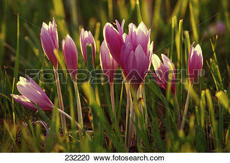 Stock Photography of Meadow saffron (Colchicum autumnale) flowers.