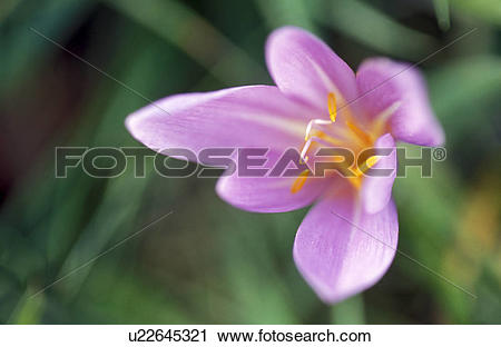 Stock Photography of colchicum, autumn, calf, botany, autumnale.