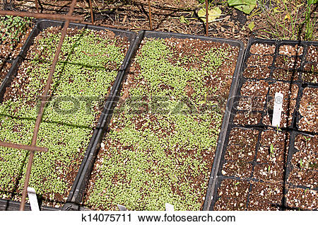 Stock Photography of Seedlings in Cold Frame k14075711.