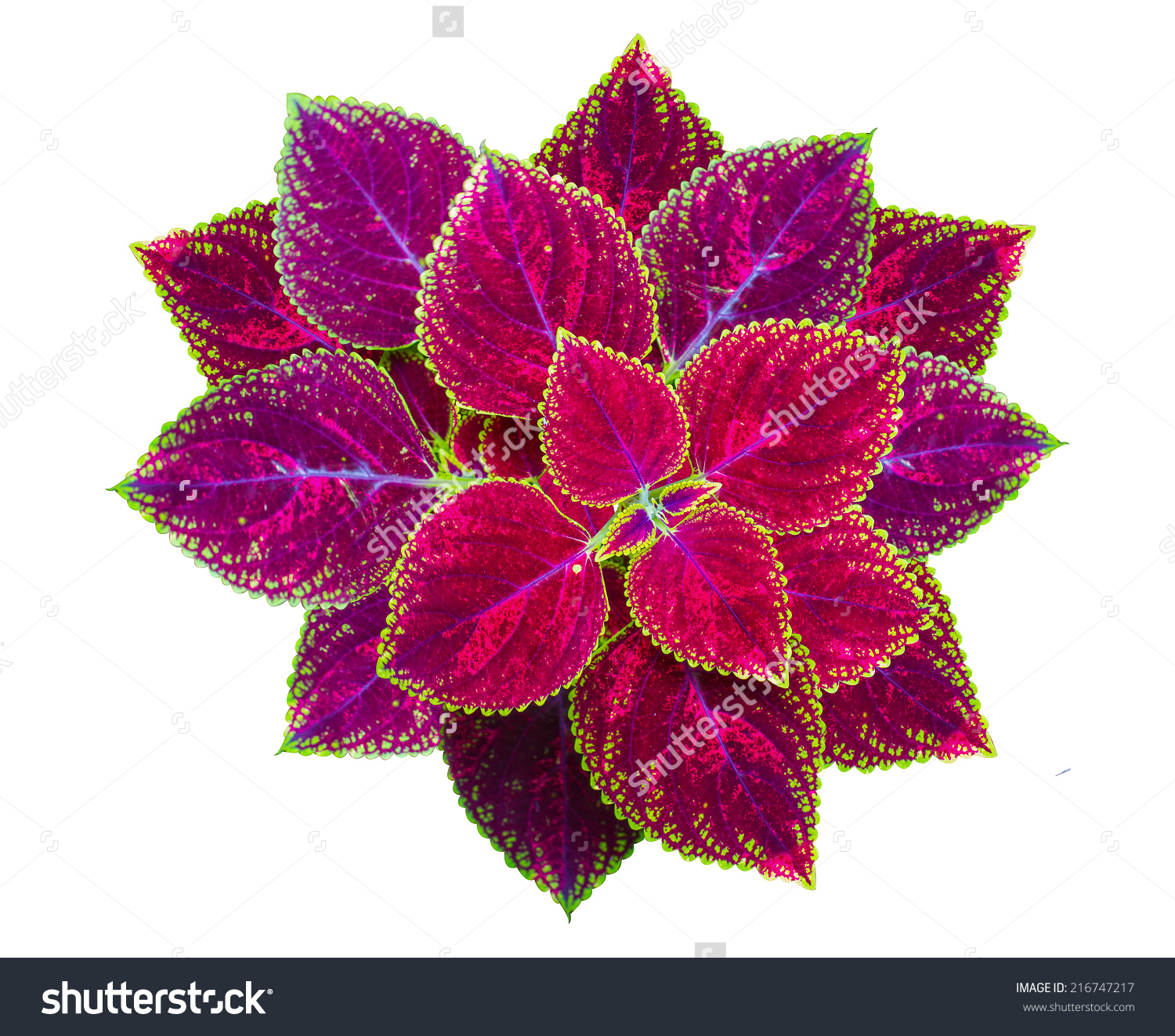 Painted Nettle Flower Coleus Plants Colorful Stock Photo 216747217.