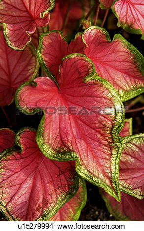 Stock Photo of Coleus plant u15279994.