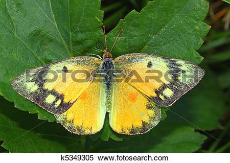Stock Image of Orange Sulphur Butterfly (Colias eurytheme.