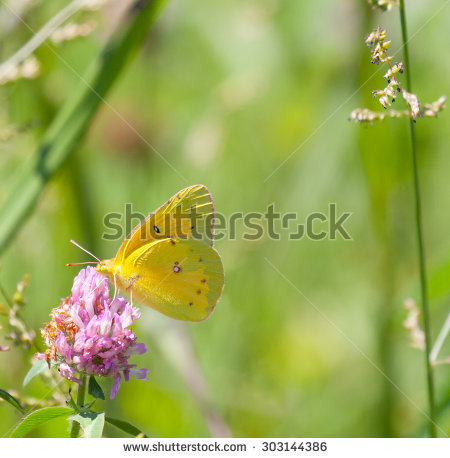 Orange Sulphur Stock Photos, Images, & Pictures.