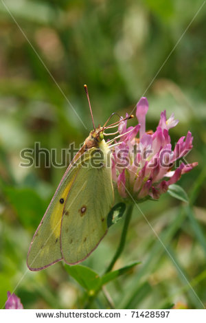Butterfly sulfur Stock Photos, Images, & Pictures.