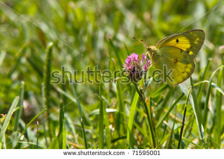 Colias Orange Eurytheme Or Stock Photos, Images, & Pictures.