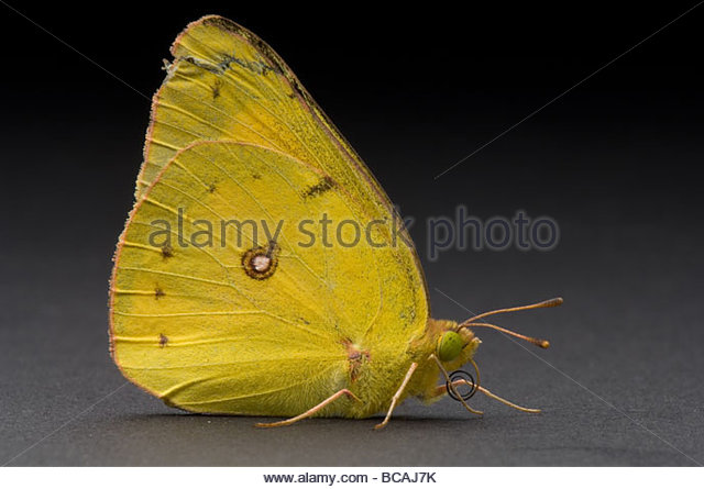 Colias Eurytheme Stock Photos & Colias Eurytheme Stock Images.