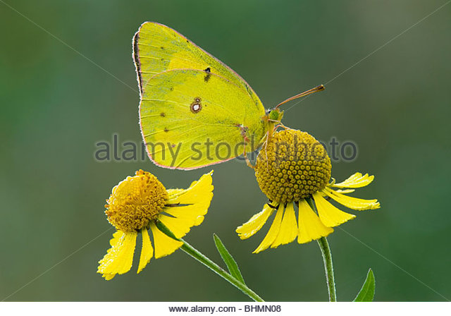 Orange Sulphur Stock Photos & Orange Sulphur Stock Images.