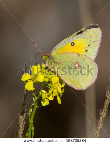 Orange Sulphur Butterfly Stock Photos, Royalty.