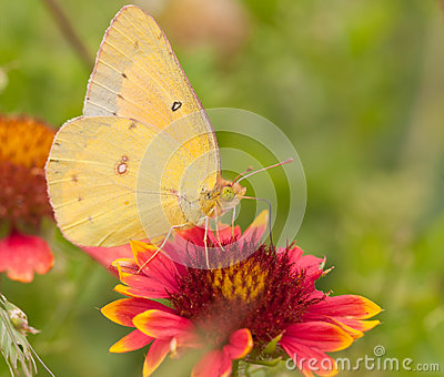 Butterfly Colias Aurorina (female) (underside) Stock Photo.