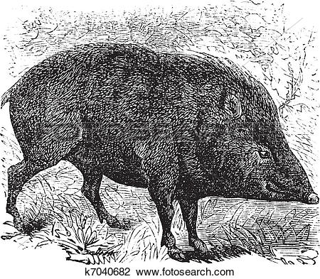 Clipart of Collared peccary or Pecari tajacu vintage engraving.