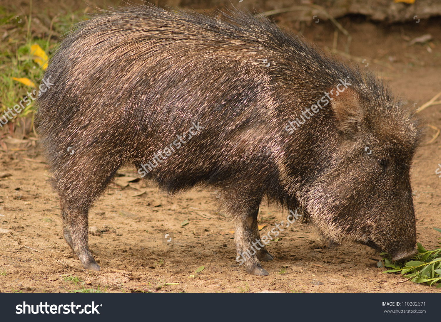 American Collared Peccary Javelina Species Suidae Stock Photo.