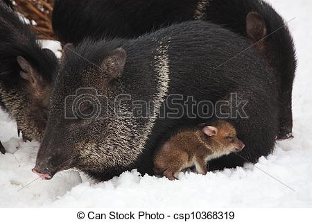 Stock Photography of Collared peccary with youngling.
