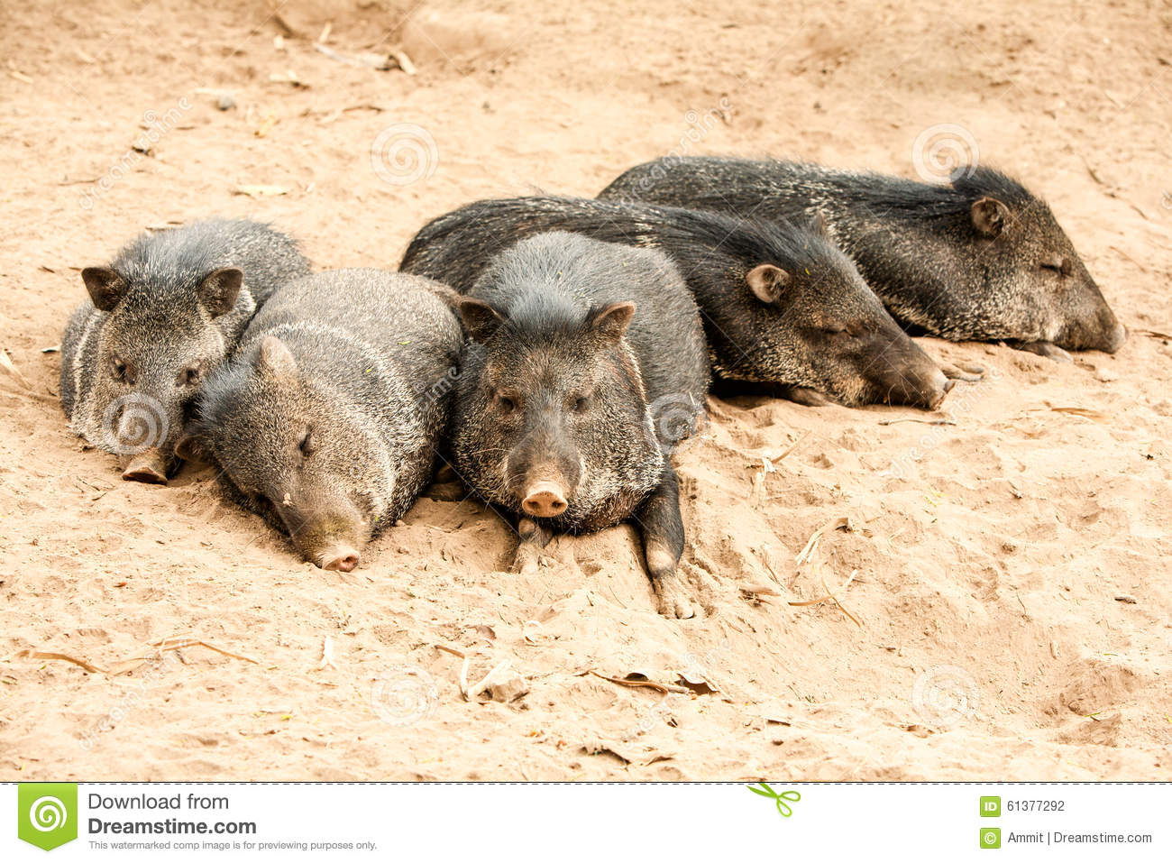 Wild Collared Peccary Pig Family Stock Photo.