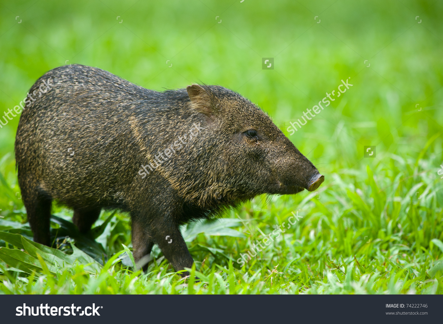 Collared Peccary Javelina Pecari Tajacu Stock Photo 74222746.