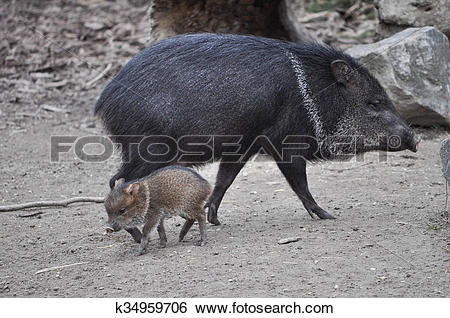 Stock Images of Collared Peccary mammal animal k34959706.