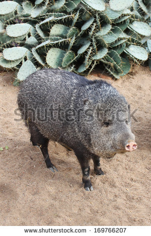 Collared Peccary Stock Photos, Royalty.