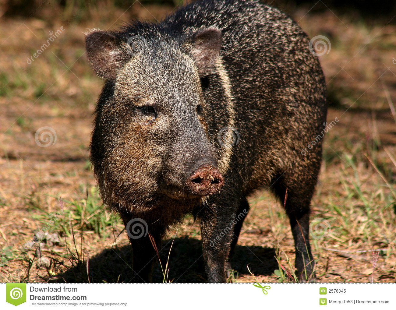 Collared Peccary Royalty Free Stock Photo.