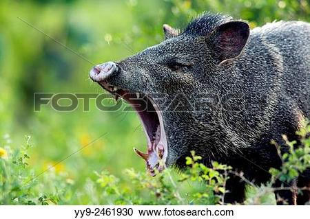 Stock Photography of Javelina or Collared Peccary.