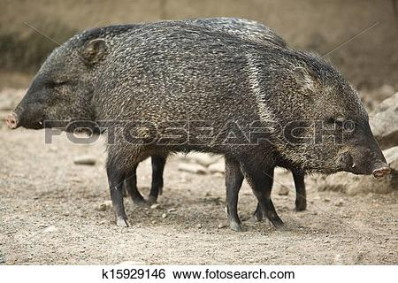 Stock Images of Two Collared peccary k15929146.