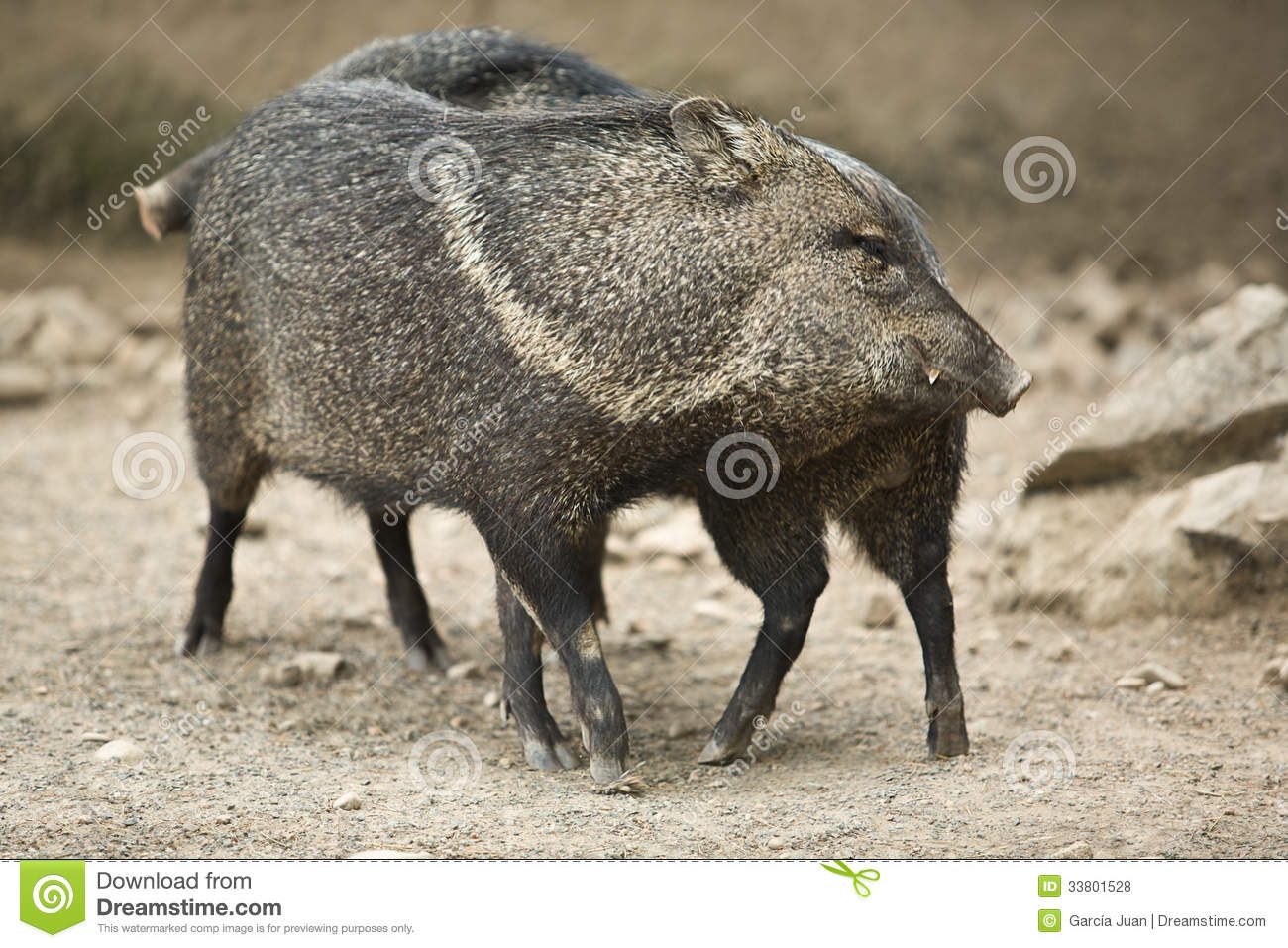 Collared Peccary (Tayassu Tajacu) Stock Images.
