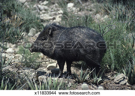 Stock Photo of Javelina, collared peccary, standing in rocky.