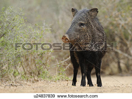 Stock Photograph of Collared Peccary (Pecari tajacu).