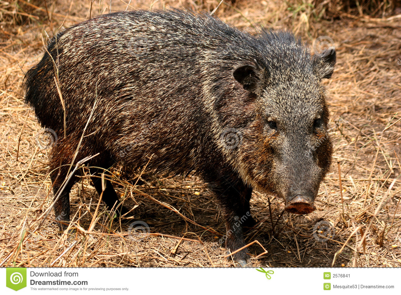Male Collared Peccary Stock Image.