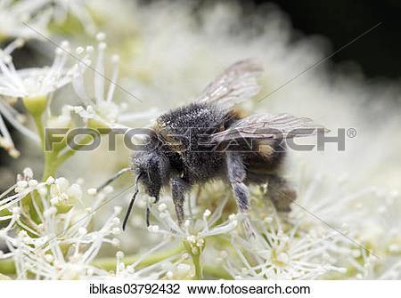 Stock Photo of Bumblebee (Bombus hortorum) collecting nectar and.