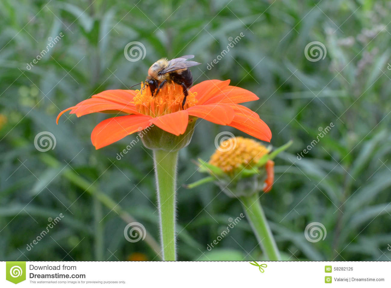 Bee Collecting Nectar Stock Photo.