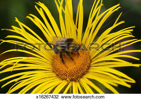 Stock Photo of Bumblebee busy collecting nectar, yellow flower.