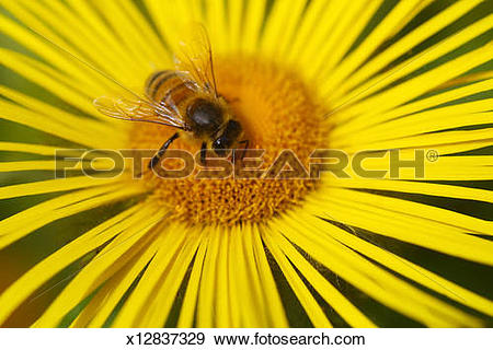 Stock Photograph of Honey bee collecting nectar from yellow flower.
