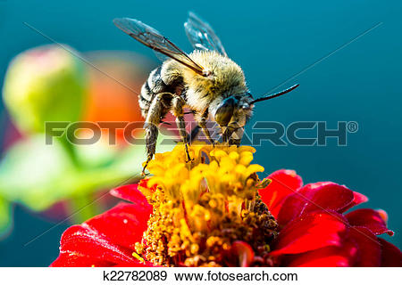 Stock Photograph of bee collecting nectar from a red flower.