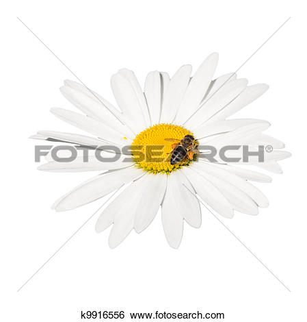 Stock Images of honey bee collecting nectar on a flower k9916556.