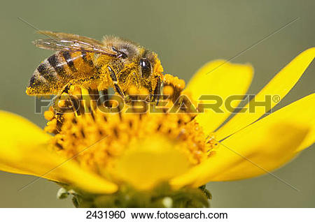Stock Photography of A bee is busy pollenating flowers as it goes.
