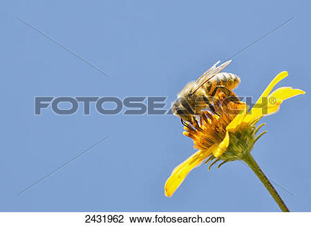Stock Photo of A bee is busy pollenating flowers as it goes about.