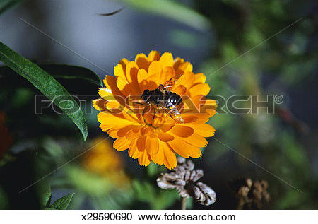 Stock Photography of Honey Bee Collecting Pollen x29590690.