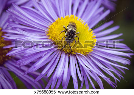 Stock Image of Insect collecting pollen on Feabane (Erigeron.