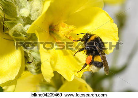 Stock Photograph of Bumblebee (Bombus) collecting pollen from a.