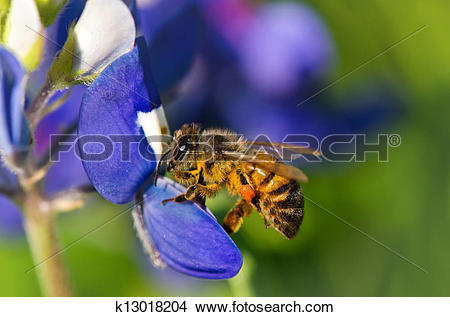 Stock Photo of Bee collecting pollen on bluebonnet k13018204.