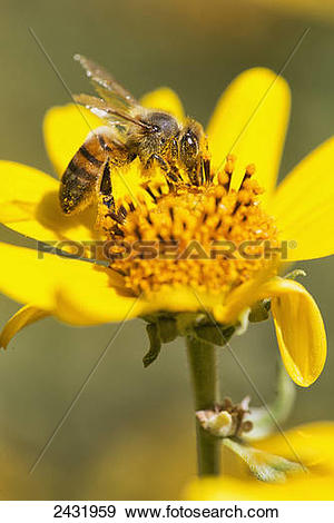 Stock Photograph of A bee is busy pollenating flowers as it goes.