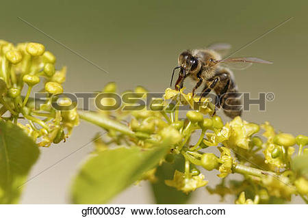 Picture of Croatia, Honey bee collecting pollen from flowers.