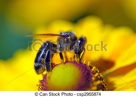 Stock Photo of bee on flower collects nectar.