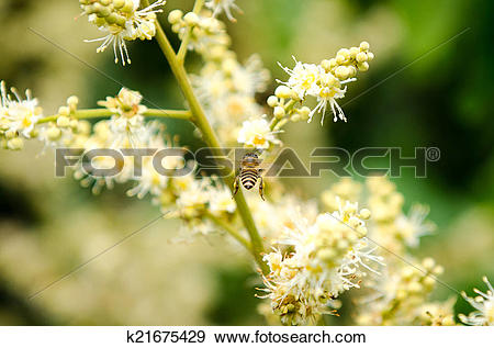 Stock Photograph of working bee collects flower nectar from longan.